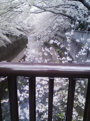 こぼれそうな桜
